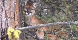 Jason martin cougar