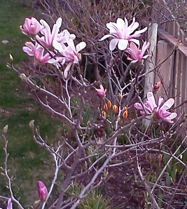 early magnolias