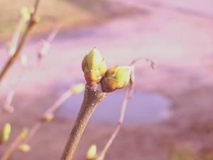 lilac buds copy