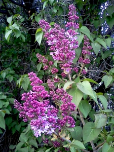 Lilac time! Early lilacs emerged on Thursday on Coldwater Ave.
