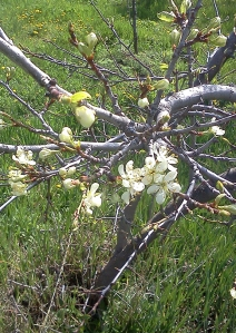 Italian plum blossoms
