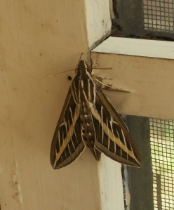 White-lined Sphinx Moth ~ Hyles lineata