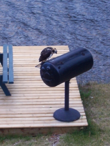 Young osprey contemplating empty barbecue