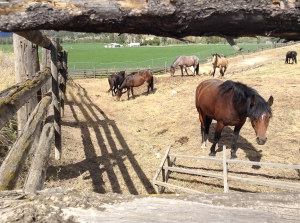 horses at rodeo grounds