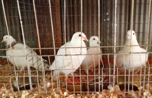 Prize pigeons at the Fall Fair