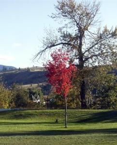 fall maple tree