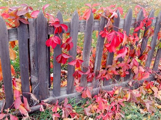 fence vine copy