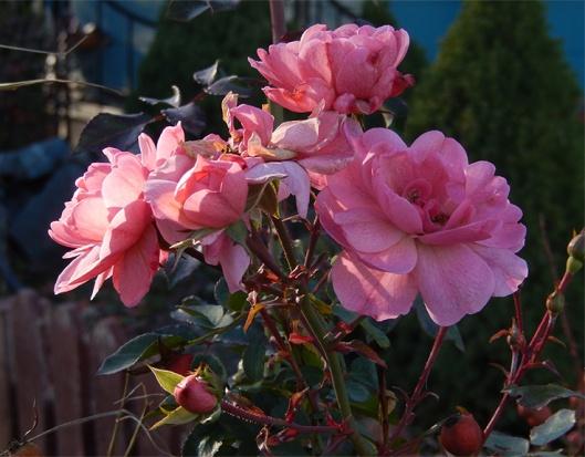 Pre-deep freeze November rose!