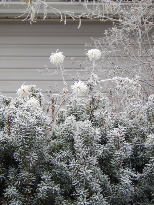 hoar frost hedge
