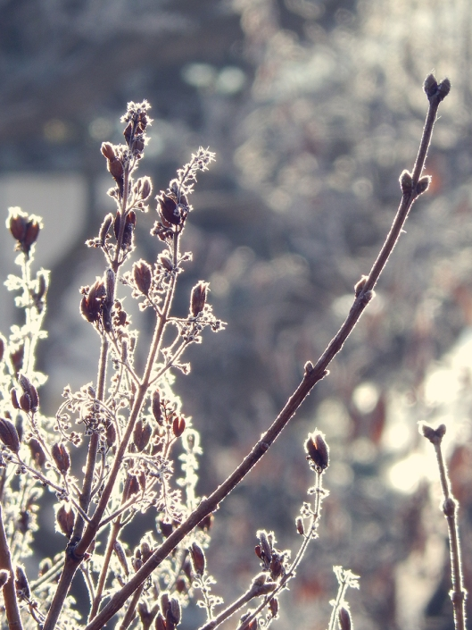 lilacs in winter