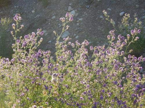 Evening sun on early alfalfa