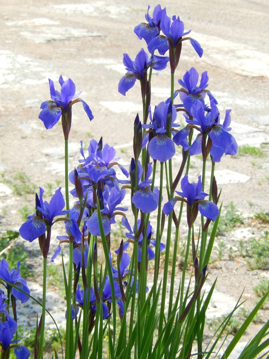 Pre-hailstorm irises