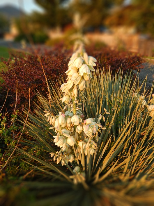 The drought-resistant Yucca filamentosa 'Golden Sword' thrives in our zone 5 growing area.