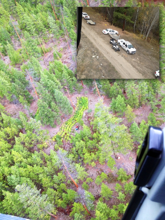 14,000 marijuana plants discovered on Crown Land on Friday, 60km west of Merritt.
