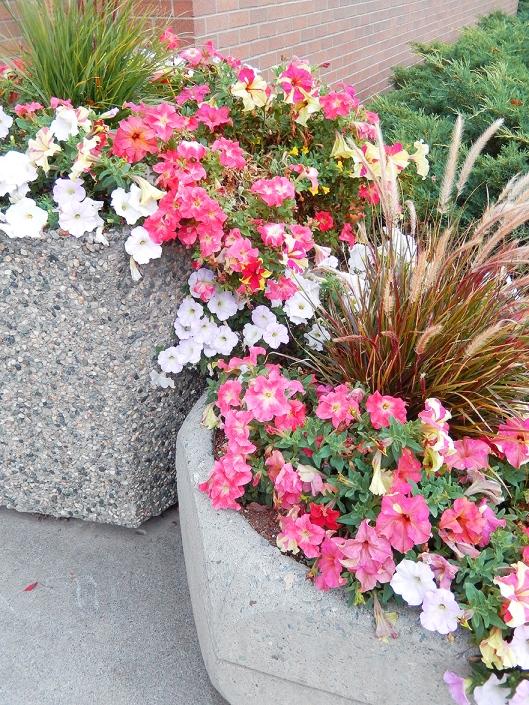 Downtown flowers still beautiful!