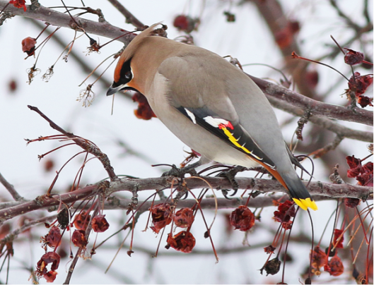 A Bohemian Waxwing feeding on hawthorn berries. Hundreds of these colourful birds visit the Merritt area each winter, migrating from their summer breeding grounds in the boreal forests up north. Photo: Alan Burger