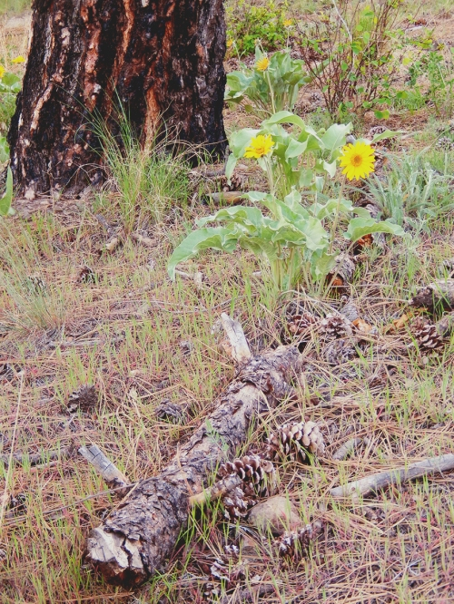 Arrowleaf balsamroot, native to the ponderosa-strewn grassland hills, are dotting the local hillsides.