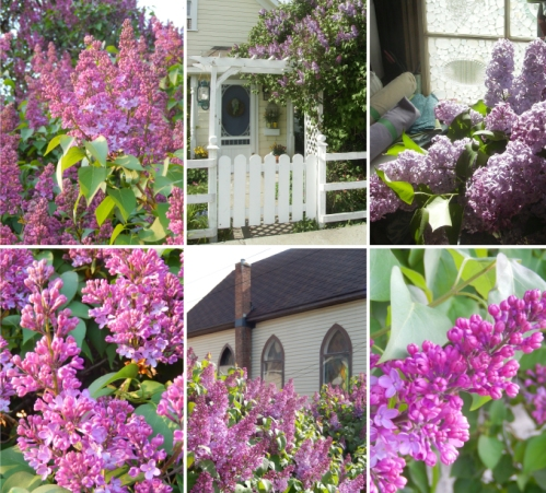 Check out the Lilac Conspiracy window display at the corner of Garcia & Granite, or lilacconspiracy.wordpress.com    Working toward lilac awareness in the Nicola Valley.