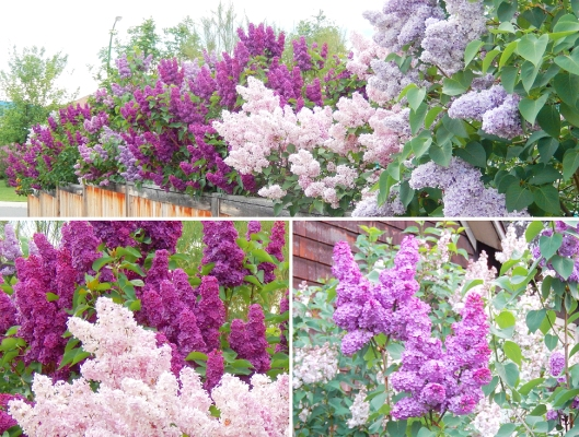 The Merritt Lilac Project began in 2005 with Bill Vander Zalm donating well-started 4'-5' lilac trees to the citizens of Merritt. Since that time, more than 5,000 lilacs have been planted in our community, thanks to his generosity. With this gift, the variety of lilac trees is greatly enhanced, extending the blooming season by at least 2 weeks. Those trees are now 'taking off', and by far this year has seen them more plush & robust than ever before! Thanks again, BVZ.
