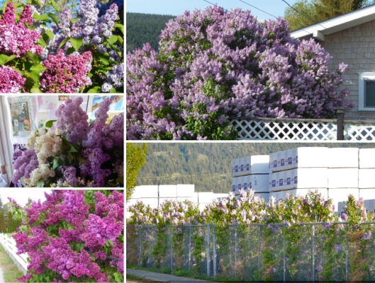 After more than a solid week of lilacs in full fabulous bloom, they are beginning to fade. But there are varieties still to come! No wonder houses are selling like hotcakes in Merritt — it's lilac season! (This may or may not be the last lilac collage of the year...can't promise either way. KL)