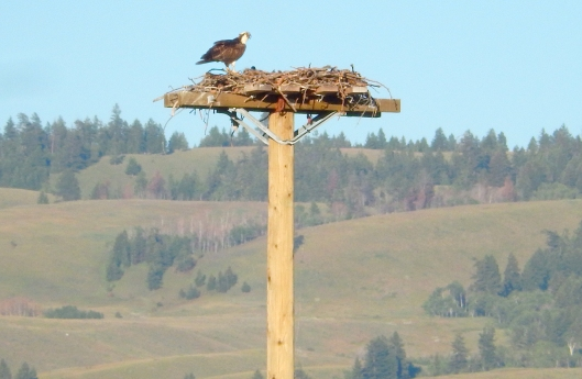 This time of year, juvenile ospreys are often seen soaring the skies above town.