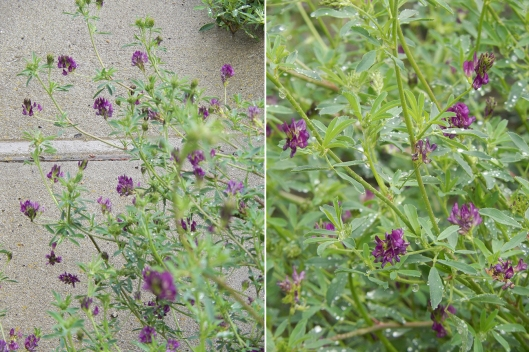 Alfalfa in full bloom has fresh colour & is a favourite for bees and butterflies.