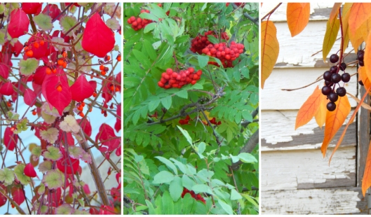 Leaves & berries seem extra colourful, all altogether different growing season for the Nicola Valley, this year.