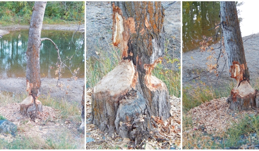 Beavers at work on a tree along the Coldwater River.