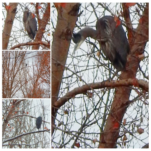 This heron — can any birdwatchers confirm the type? — found his new favourite perch over the weekend... in a tree overlooking the Coldwater River.