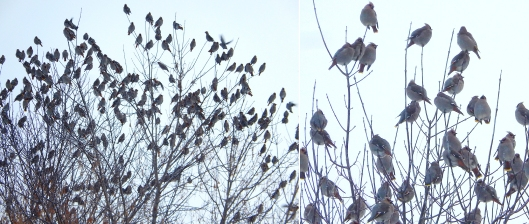 Flocking together. These cedar waxwings were coping with the -20°C temps this week. The Nicola Naturalist Society will run the annual Merritt Christmas Bird Count on Sunday December 18. This is a great way to learn birds and contribute to the world's largest and longest-running wildlife survey, run by the Audubon Society and Bird Studies Canada. FMI 378-2468 or www.nicolanaturalists.ca
