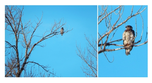 Eagle eye. There is an abundance of birds & wildlife this winter. No doubt omens of good luck.